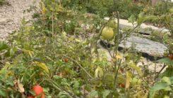 На территории бетонного завода БетоНИКА выросли помидоры